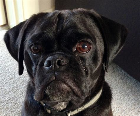 black puggle puppies black puggle puggle blackpuggle just puggles