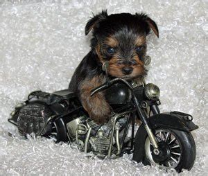 teacup yorkie michigan teacup yorkie puppies and chihuahua puppies michigan by sissy j s poochies