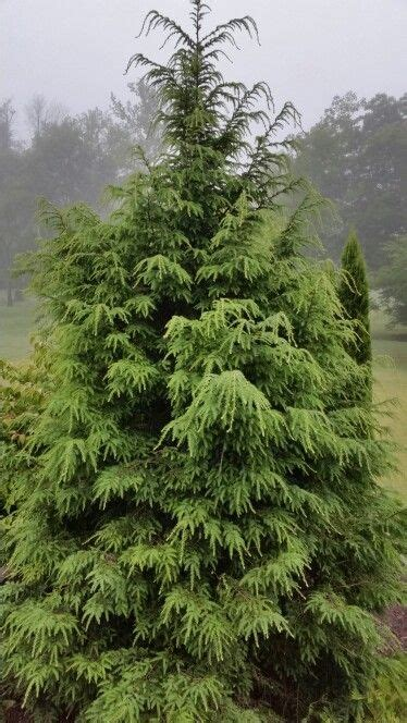 artificial hemlock tree 32 best images about trees on trees privacy trees and evergreen