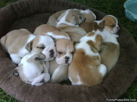 pile of puppies pile of puppies funnypuppysite