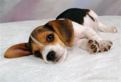 puppy beagles beagle puppy 9 jpg