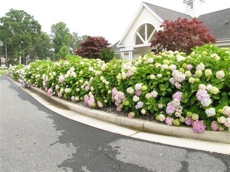 ausgefallene pflanzen garten hortensien der attraktive akzent in jedem garten