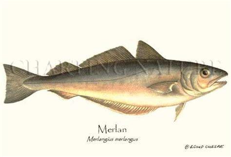cuisiner le merlan l histoire du merlan la cuisine de