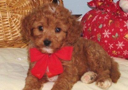 free puppies az cavapoo puppies for sale bristol me 206554 petzlover