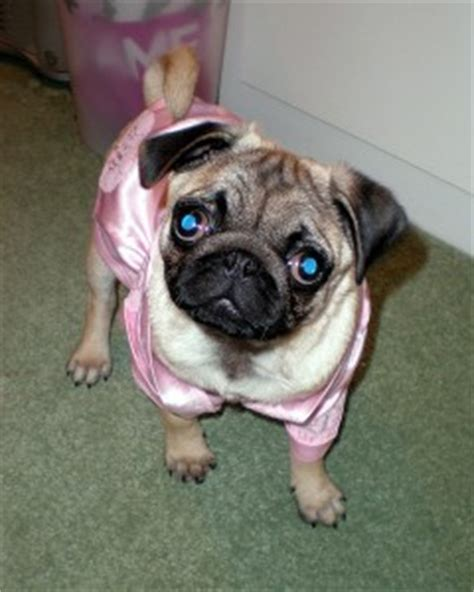 adopt a pug puppy for free pug puppies for free adoption picture breeds picture