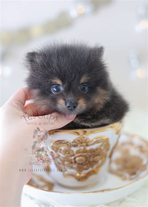 pomeranian boutique black teacup pomeranian by teacups puppies teacups puppies boutique