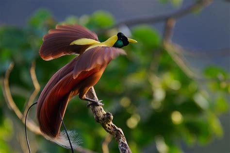 Zamrud Peacock Tali Kacamata Kacamata kutilang indonesia cendrawasih merah