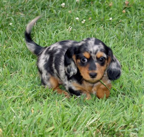 haired dapple dachshund puppies 6 weeks haired black dapple mini dachshund black dapple