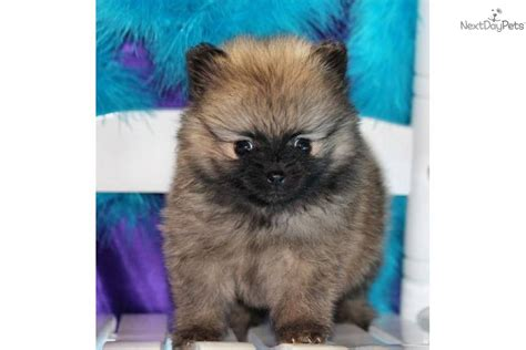 tiny teacup pomeranian micro tiny teacup pomeranian puppy