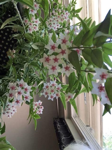 indoor flowering plants hoya wax plant bedroom plant relaxing indoor plant air