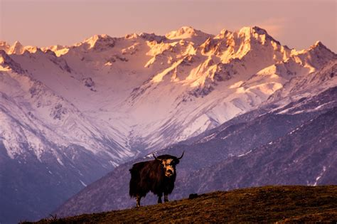 tibetan mountain china tibet mountain cow bull yak wallpaper 2048x1363 309668 wallpaperup