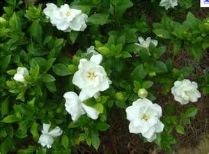 Gardenia Vine Gardenia Tree Sales For Ta Brandon Riverview Apollo