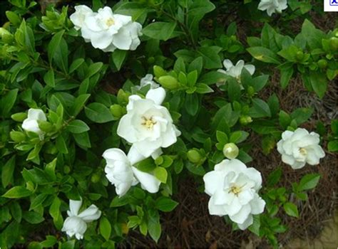 Gardenia Shrub Gardenia Tree Sales For Ta Brandon Riverview Apollo