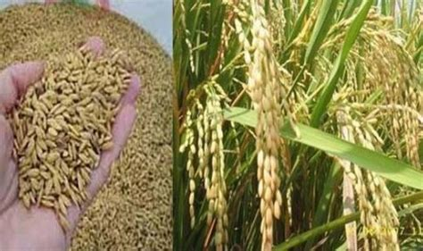 membuat karya kolase tentang tanaman padi cara membuat bibit padi unggul semua tentang tanaman dan