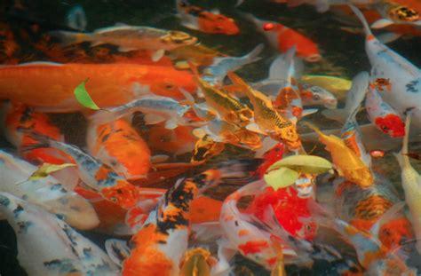 koi colors across the spectrum koi fish colors koi story