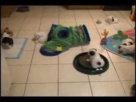 havanese puppies toronto havanese toronto puppies 5 5 weeks