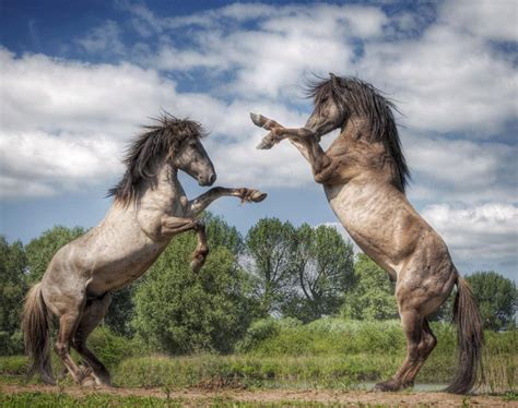 wild stallions fight  animal fights ny daily news
