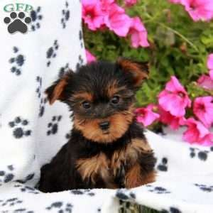 alvin yorkies terrier puppies for sale greenfield puppies