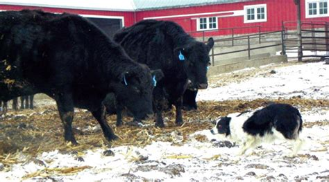 how to a herding how to a cattle herding