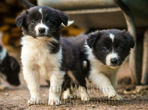 sheepdog puppies image gallery sheepdog puppies