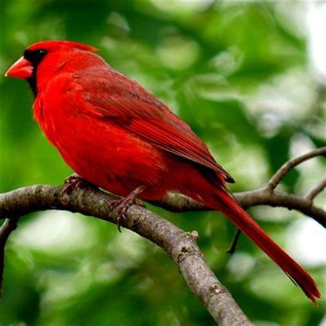 pictures of state birds virginia state birds and