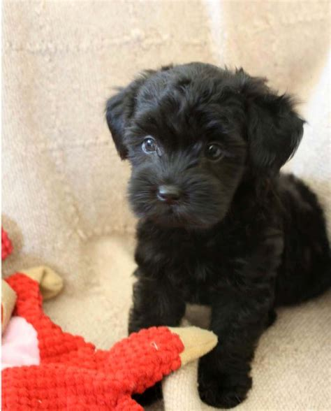 black teacup yorkie pics for gt teacup poodle