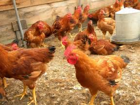 a comprehensive guide of china s poultry industry the