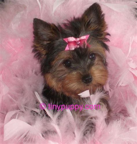 all about teacup yorkies all about terrier puppies teacup yorkie dogs breeds picture