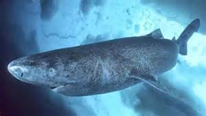 greenland sharks may live 400 years researchers say