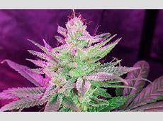 Pineapple Kush Cannabis Strain Information - Leafly Leafly App