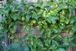 Passion Fruit Trees Growing - 5 best tropical fruits to grow in your backyard plant instructions