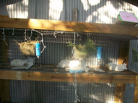Backyard Bunnies Rabbitry by The Rabbitry Lil Lops Of Rabbitry