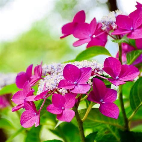 flores lilas imagenes flores lilas descargar fotos gratis