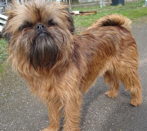 griffon breed brussels griffon dogs breeds pets