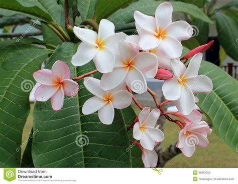 tiare fiore fiore di tiare fiori tropicali pi 249 frangipanier