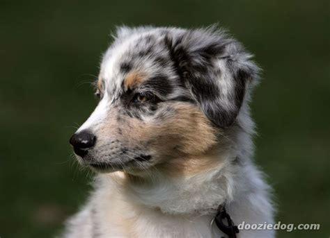 australian shepherd puppy names australian shepherd puppy 4 jpg