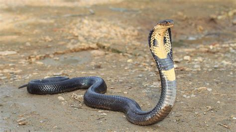 king cobra images deadly king cobra snake on the after escaping home