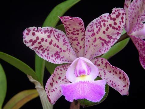 Anggrek Hijau 60 jenis jenis bunga anggrek di indonesia