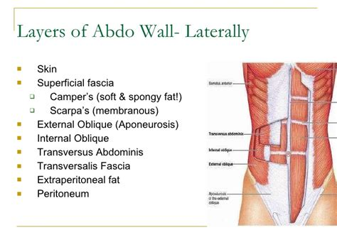 layers of abdomen in c section abdominal wall layers images