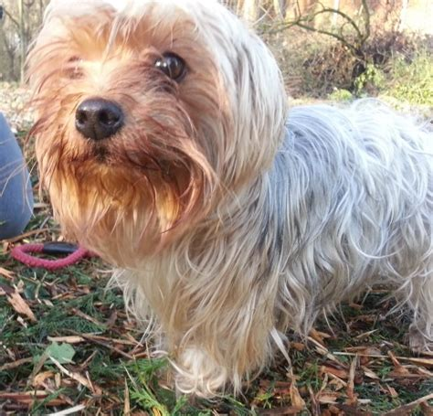 rescue dogs yorkies rescue milly yorkie peterborough cambridgeshire pets4homes