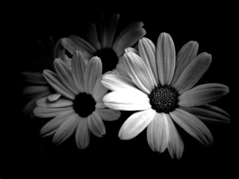 black and white daisy wallpaper black and white daisies flowers nature background