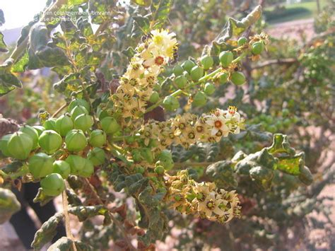 plantfiles pictures arabian frankincense boswellia sacra