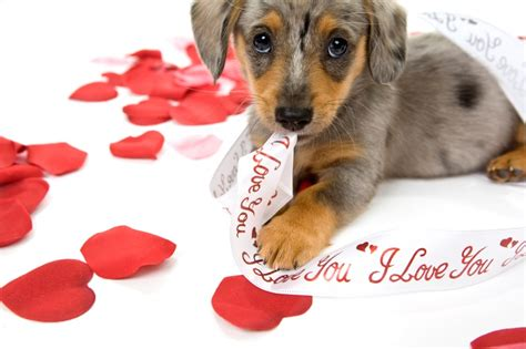 puppy valentines valentines day puppy wallpapers puppy pictures