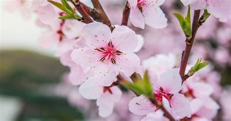 Lessons Of The Japanese Cherry Blossom Japanese Cherry Blossom Flower