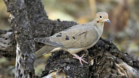 what do mourning doves eat reference com