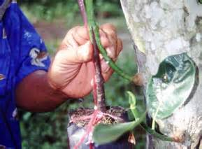 Bibit Duku Asal Bibit Dari Sambung Pucuk sambung susup pohon nangka bebeja