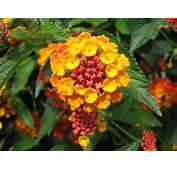 Lantana Camara  Fleur Plantation Bouturage