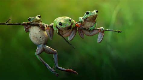 branch wallpaper free hd wallpapers frogs on branch hdwallpaperfreebie
