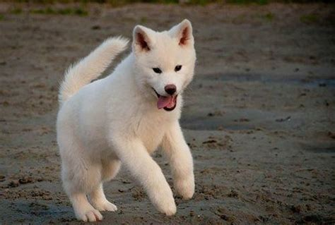 akita puppy cost akita pet insurance compare plans prices