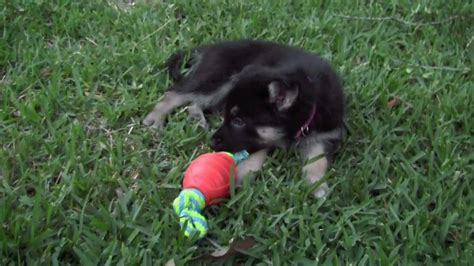 shepsky puppies for sale gerberian shepsky puppies for sale california picturejpg breeds picture